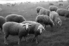 Sheep on a meadow royalty free stock image