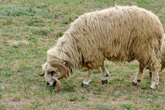 Farm. Sheep on the meadow. Farm. Sheep with horns twisted, grazing on the meadow Stock Photography