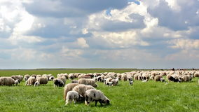 Sheep in the meadow Stock Images