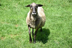 Sheep on the meadow Royalty Free Stock Photography