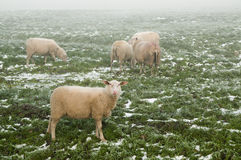 Sheep on a meadow in the mist Stock Photo