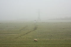 Sheep in the meadow or a misty polder landscape Royalty Free Stock Photography