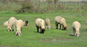 Sheep on meadow in morning Royalty Free Stock Photos