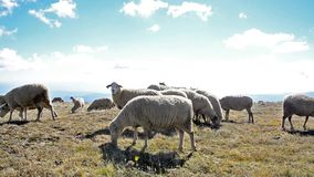 Sheep on a meadow in the mountain stock video footage
