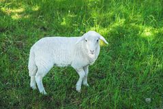 Sheep in a meadow Stock Images
