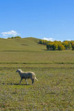 A sheep in the meadow royalty free stock image