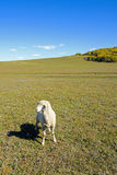 A sheep in the meadow stock image