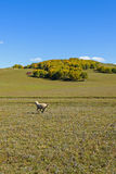 A sheep in the meadow stock photography