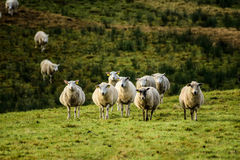 Sheep on the meadow Royalty Free Stock Image