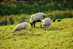 Sheep on the meadow Royalty Free Stock Photo