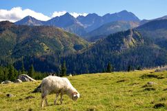Sheep on the meadow in mountains Royalty Free Stock Photo