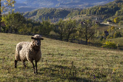 Sheep on a meadow Royalty Free Stock Images