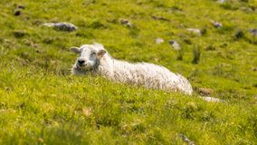 Sheep on a meadow. Relaxing near Nant-y-Moch Reservoir, Ceredigion, Dyfed, Wales, UK Royalty Free Stock Photos
