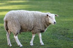 Sheep in a meadow Stock Image