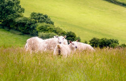 Sheep in the Meadow. A small group of sheep resting in the sunshine of early summer, amidst the long meadow grass. Their thick winter wooly coats are ready for Stock Photos