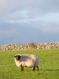 Sheep in the meadow with stonewall Royalty Free Stock Images