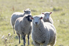 Sheep on a meadow in the warm evening sun. White sheep on a meadow in the warm evening sun stock images