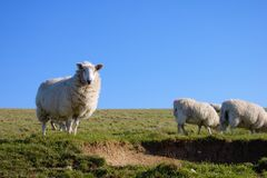 Sheep on a meadow watching towards camera royalty free stock images