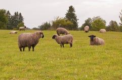 Sheep on meadow Stock Photos
