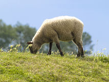 Sheep in meadows. Pregnant in salty sheep in meadows Stock Photos