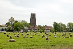 Sheep in the meadows in the Netherl Royalty Free Stock Photo