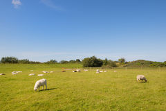 Sheep in meadows on wadden island royalty free stock image