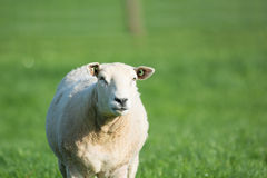 Sheep in meadows Stock Photography