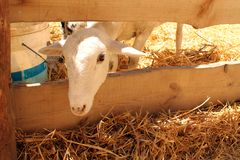 A sheep during the Medieval Week of Saint George Royalty Free Stock Photos