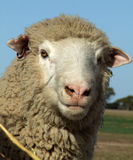 Sheep - Merino Stock Photo