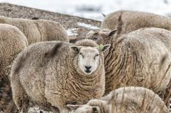 A sheep in the midst of a herd. Looking into the lens Royalty Free Stock Photography