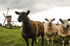 Sheep & Mill. In Hoogmade, South-Holland, The Netherlands Stock Image