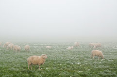Sheep in the mist in Winter Royalty Free Stock Images