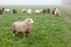 Sheep on misty pasture Royalty Free Stock Images