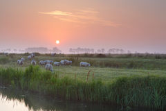 Sheep on misty pasture by river at sunrise Stock Photos