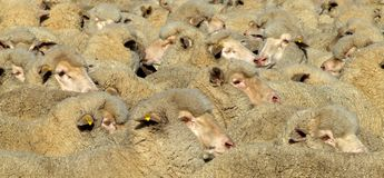 Sheep - Mob. Mob of Merino sheep fill the entire frame royalty free stock photos