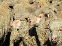 Sheep - Mob. Mob of Merino sheep waiting for shearing stock image