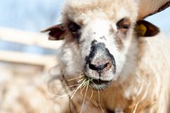 A sheep within a mob eating some grass. While looking at camera and staring Royalty Free Stock Image