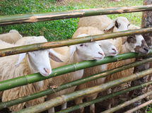 Sheep within a mob turn to check out the photographer Royalty Free Stock Photography