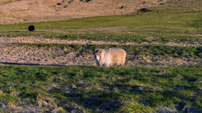 Sheep within a mob turn to check out the photographer Royalty Free Stock Photos