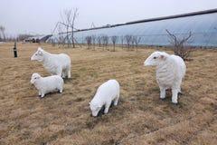 sheeps in farmland Stock Photos