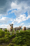 Sheep mom and her lamb. A sheep and her lambs on top of the norwegian mountains Stock Photos