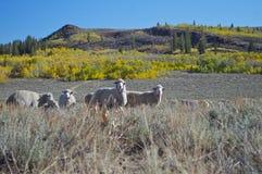 Sheep at Monitor Pass Royalty Free Stock Image