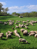 Sheep on a Montefalco Farm in Umbria, Italy Stock Photos