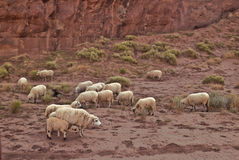 Sheep in Monument Valley. This is a picture of sheep in Monument Valley Stock Images