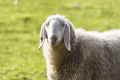 Sheep in the Monza Park Stock Photography