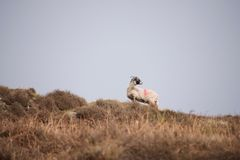 Sheep on a moor against horizon stock image