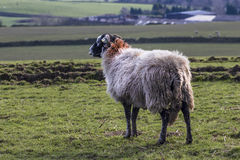 Sheep. A moorland sheep on the pennine moors in Yorkshire stock photography