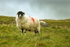 Sheep on the moors Royalty Free Stock Images