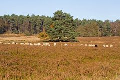 Sheep on the moors on Loenermark Royalty Free Stock Photography