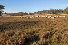 Sheep on the moors on Loenermark Stock Photos